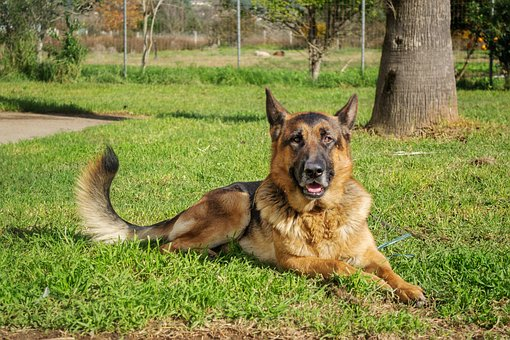 german-shepherd-1927033__340_61317
