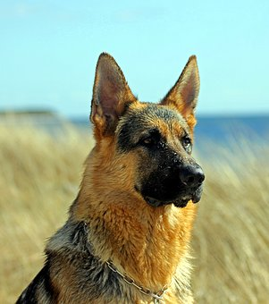 german-shepherd-dog-2357412__340